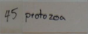 featherly__0008_45 protozoa
